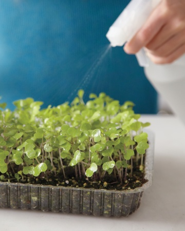 Mist with water when soil gets dry and place in a sunny spot (6-8 hours)